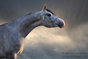Majestic Stallion by Hestefotograf