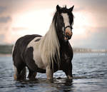 The Gypsy Vanner