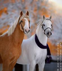 Christmas Ponies 2 by Hestefotograf