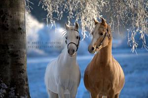Welsh Beauties by Hestefotograf