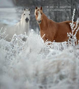Ponies In The Snow by Hestefotograf