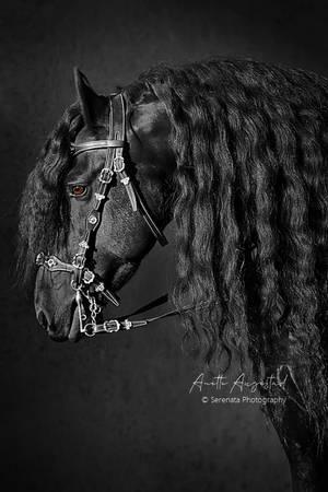 Friesian Beauty by Hestefotograf