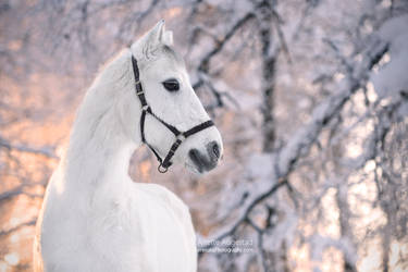 Prince  Charming by Hestefotograf