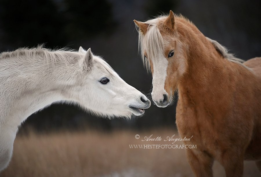 Fluffy Winter Ponies by Hestefotograf