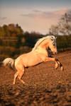 Golden Stallion by Hestefotograf