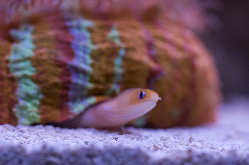 great dwarf moray eel photos liveaquaria com 8 3 8 hawaiian