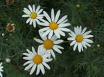 Daisy Stock 1 by athlinia-stock