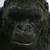 Kong Skull Island - King Kong Icon