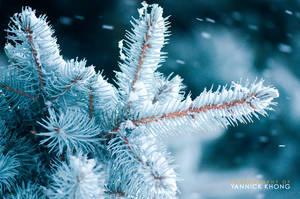 Snowy Pine II