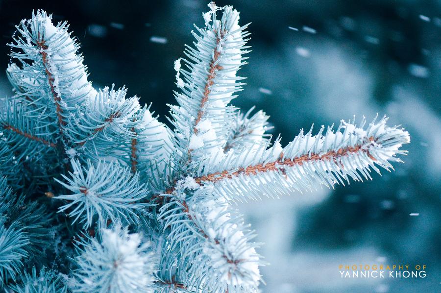Snowy Pine II by confucius-zero
