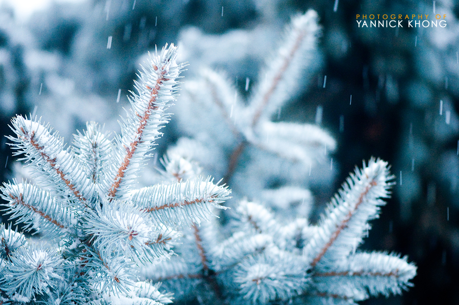 3 Snowy Pines by confucius-zero