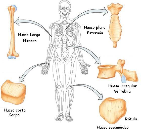 Tipos De Huesos by roantovica
