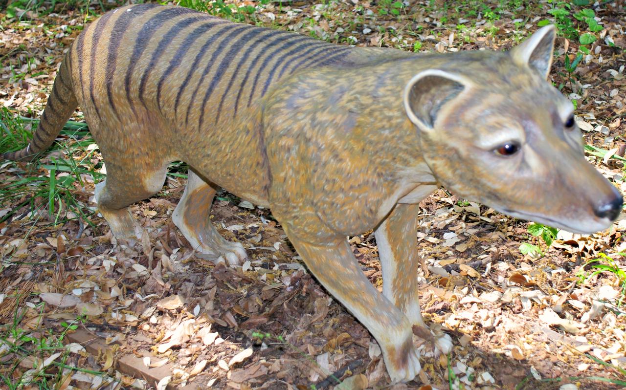 O Que Marsupial Thylacinus cynocephalu...
