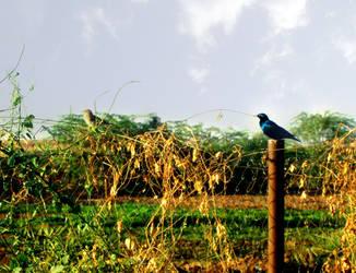 Blue bird by reemo1