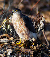 Cooper's Hawk by NorthOne