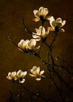 Magnolia by ZhuJing