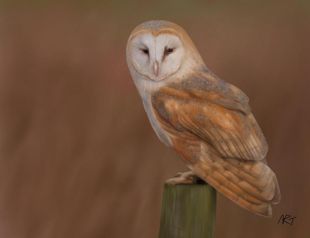 Barn Owl by quarridors