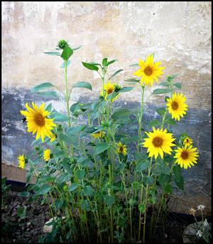 Sunflowers for DA