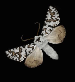 North Island Zebra Moth