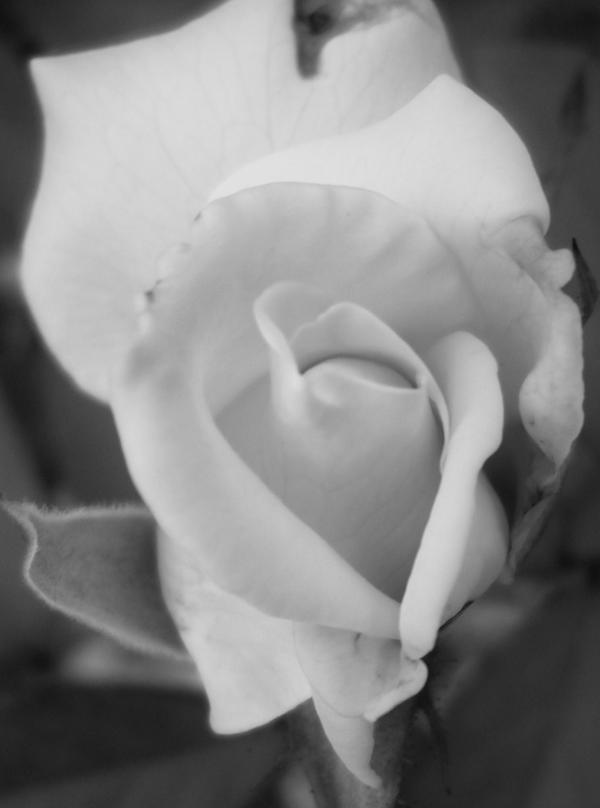 Altered White Rose 3 by ShadowsFinder