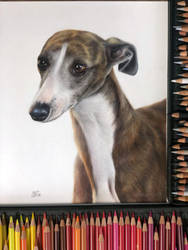 Whippet drawing