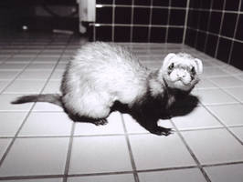 A Portrait of a Silly Weasel