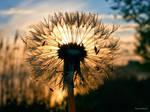 Morning dandelion