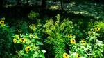 Sunflowers by Gensotsuki