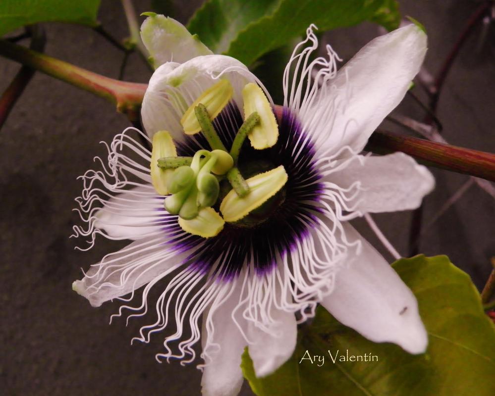 Passiflora III by LoliCanoli