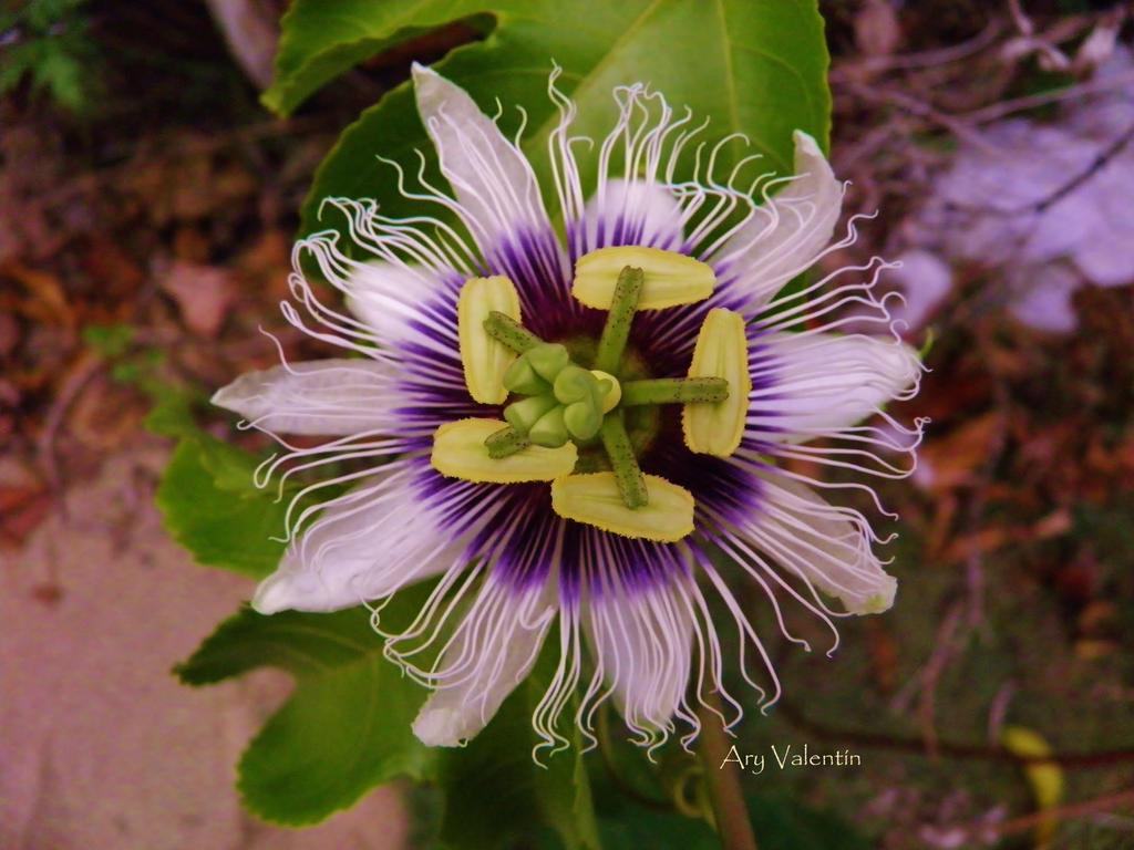 Passiflora IIIV by LoliCanoli