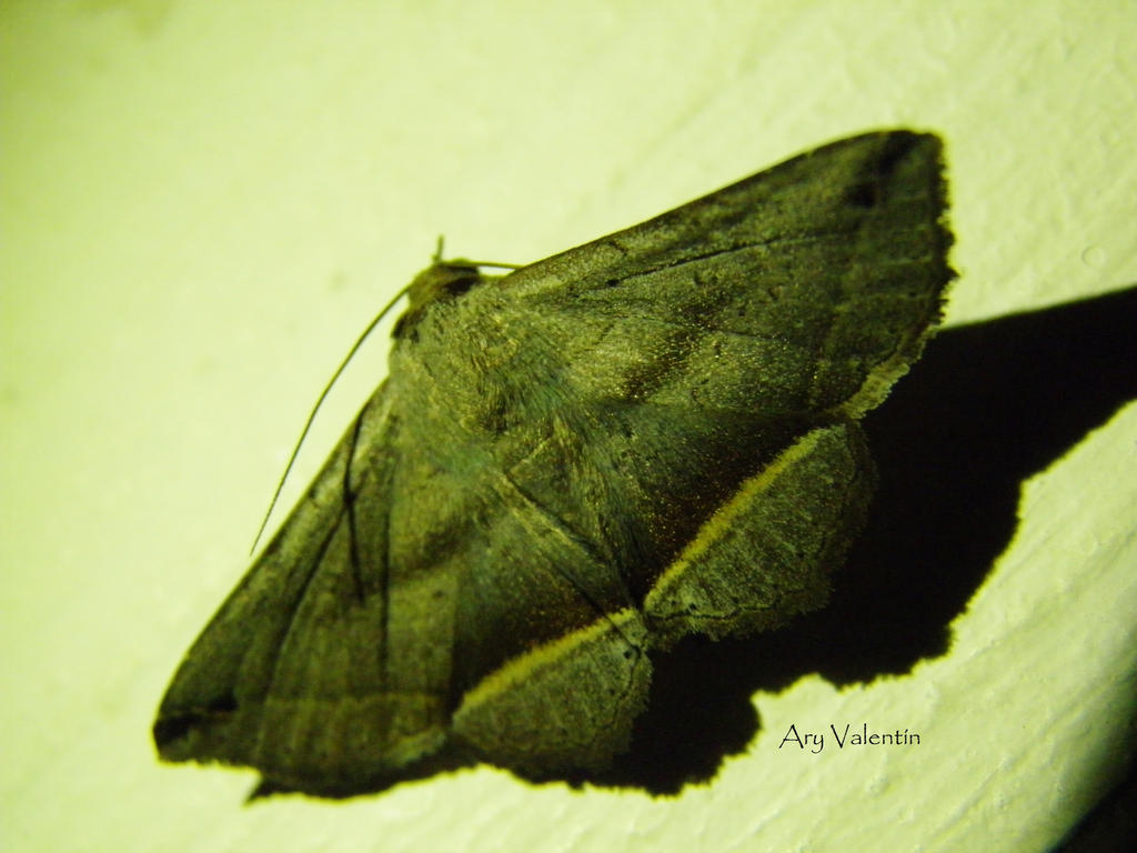Mariposa Nocturna I by LoliCanoli