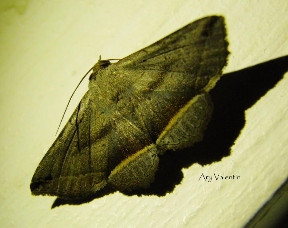 Mariposa Nocturna II by LoliCanoli