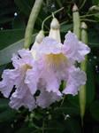 Tabuia Flowers