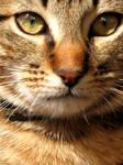 Stock Image - Tabby Kitten 1