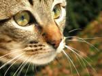 Stock Image - Tabby Kitten 4