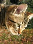Stock Image - Tabby Kitten 5