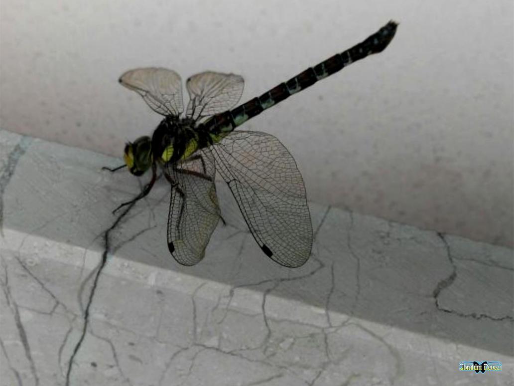 Yusufcuk - Sympetrum sanguineum female by deveciufuk