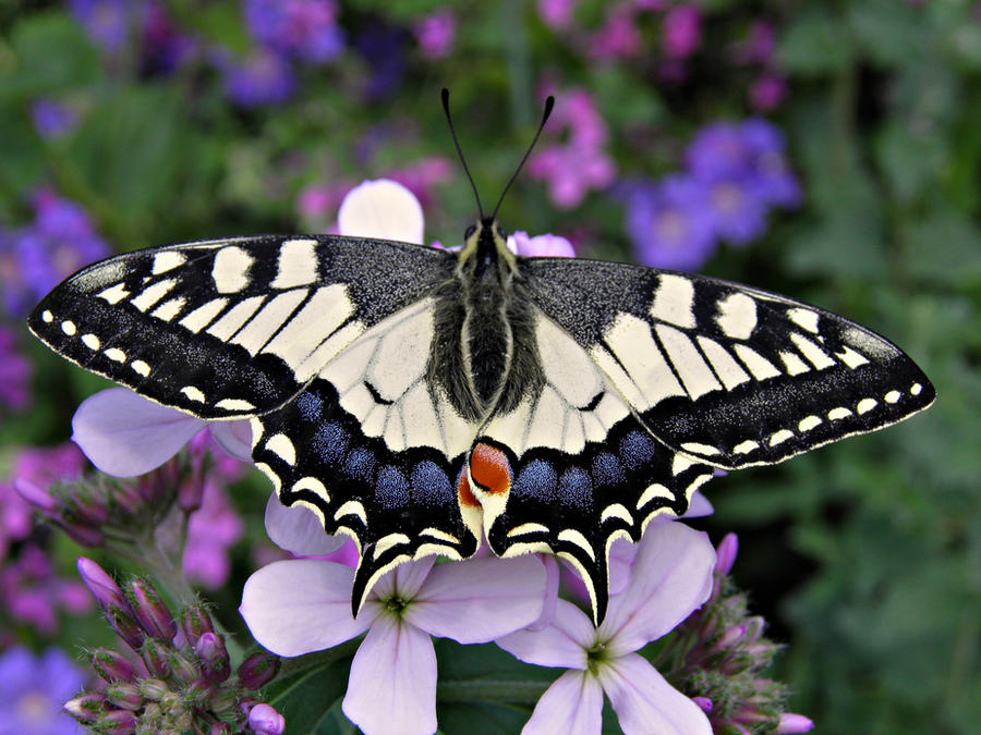 Papilio machaon by Luciex27