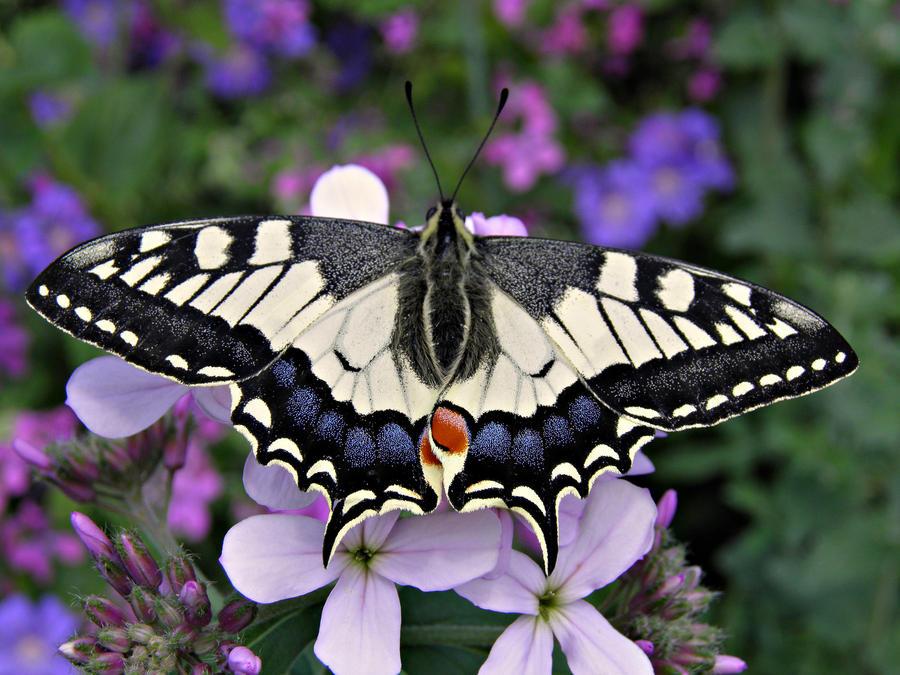 Papilio machaon by Luciex27