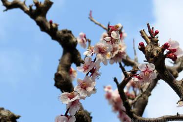Sakura - Kyoto