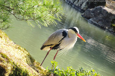 Grey Heron - Kinkaku-ji