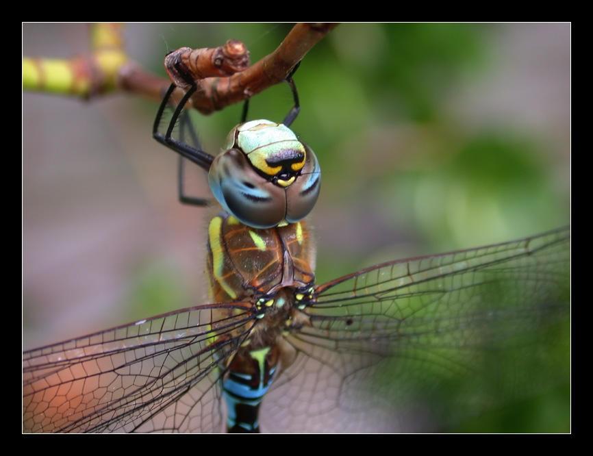 Dragonfly by Jaydehawk
