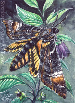 ACEO Moth