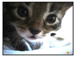 Kitten Series: Hello by Pheseeshiss