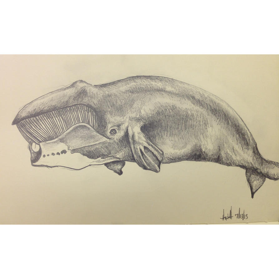Bowhead Whale | Sketch by hayleeeex on deviantART