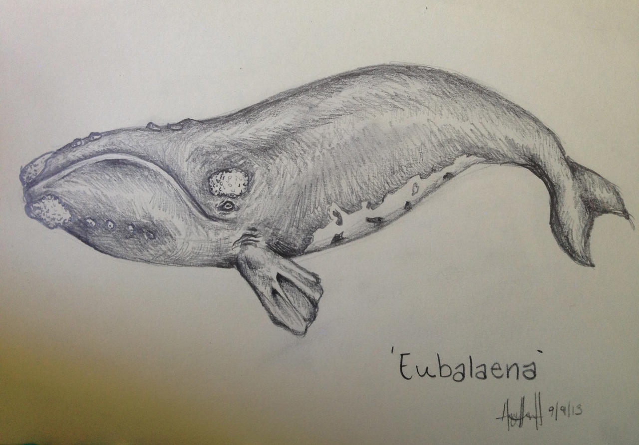 North Atlantic Right Whale | Sketch by hayleeeex on DeviantArt