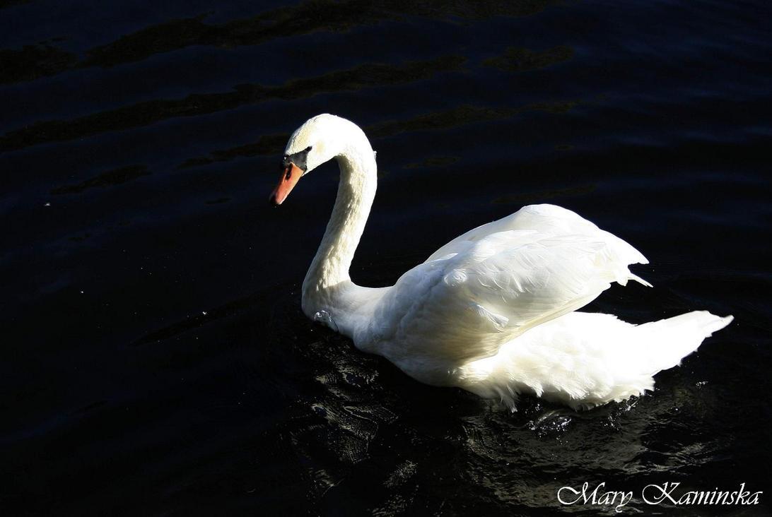 Swan by lazureblood