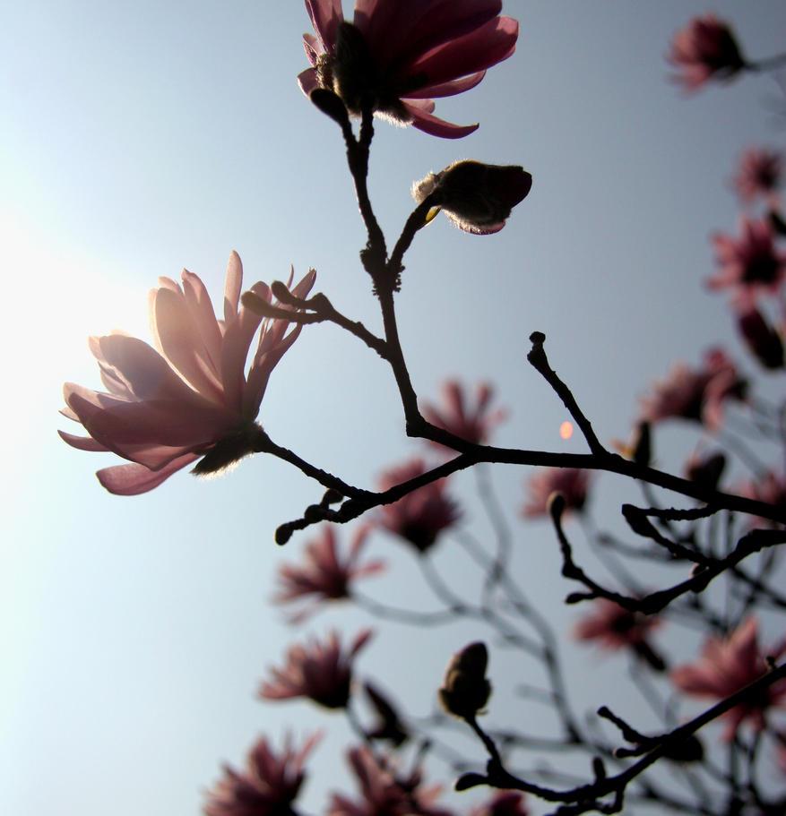 Magnolia by vapeur