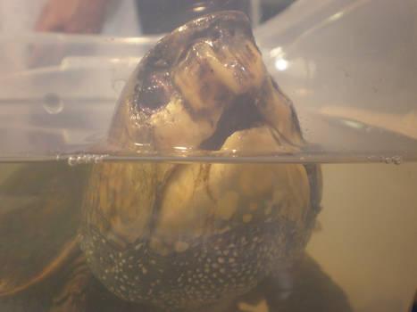 Big Head Turtle