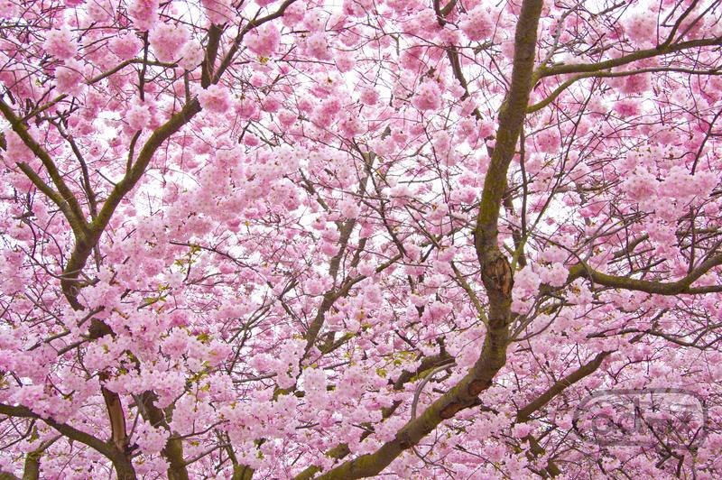 Cherry Blossom Tree by admx